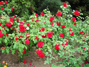 how-to-plant-rose-bushes