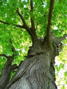 Resistant Trees