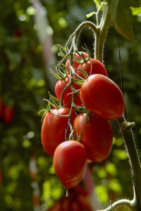 Plum tomatoes on plant in a greenhouse