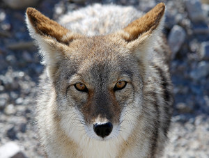 fox-point-coyote